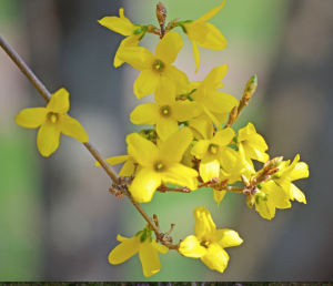 forsythia_jpg__4928×3264__and_HipChat_-_Amy_Guan