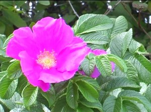 Beach_rose